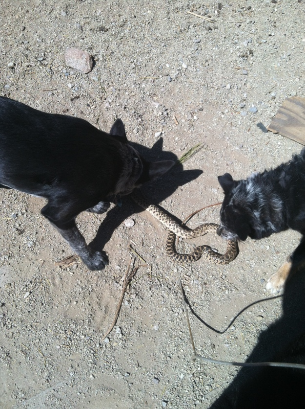 Dog was barking, Gabi checked on him, there was a snake in the yard, I went out, knew it wasn't poisonous (Bull Snake), wanted to get it out of the dog yard, 2 dogs went crazy on it and killed it.  At least they know what to do in a crisis!