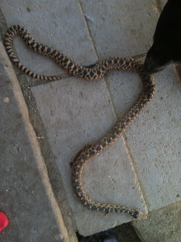 The snake. Over 3' long